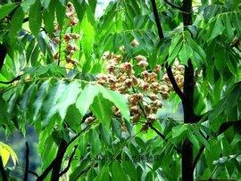 桃树管理视频_伯乐树_360百科