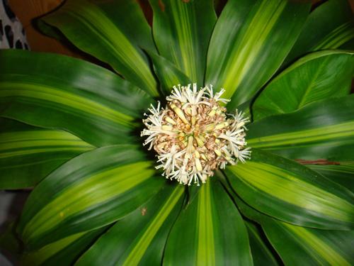 叶缘淡黄色;中斑香龙血树(massangeana)