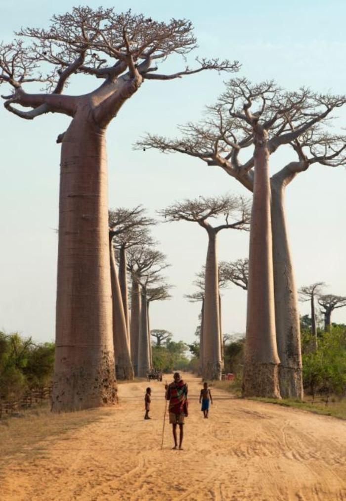 马达加斯加岛上的猴面包树
