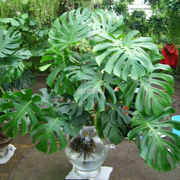 由此可见,龟背竹是有毒的植物,它的毒性相比于同属的滴水观音来说,要