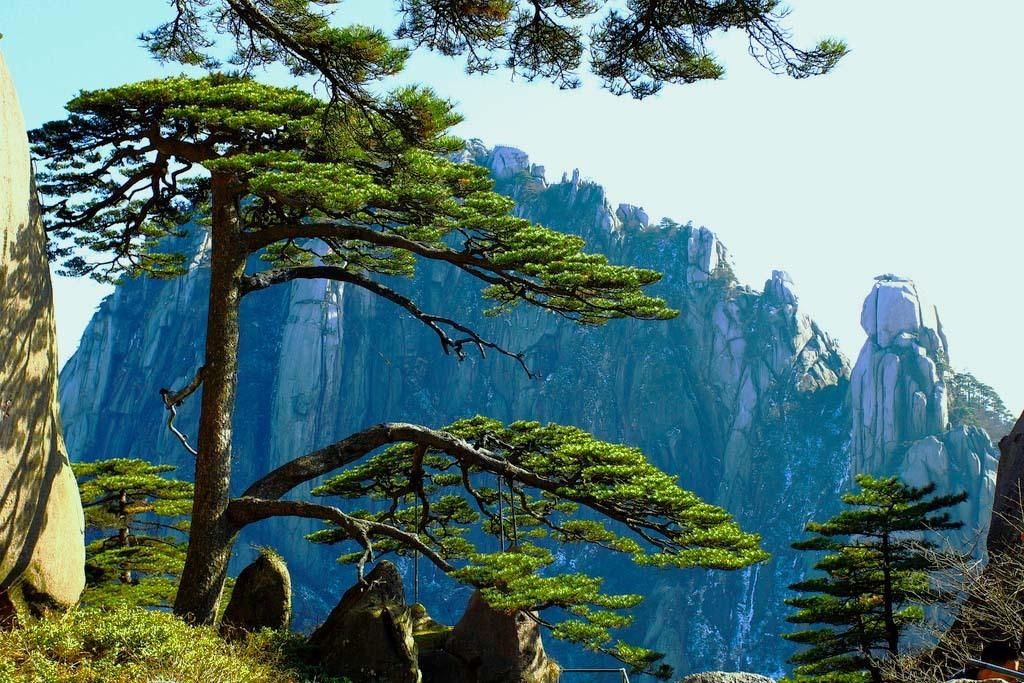 迎客松[1]屹立在黄山风景区玉屏楼的青狮石旁,海拔1670米处.树高9.