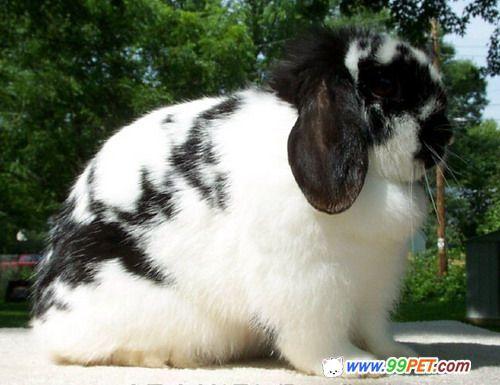 荷兰垂耳兔是最迷你,超可爱的垂耳兔,身圆骨重,多毛.
