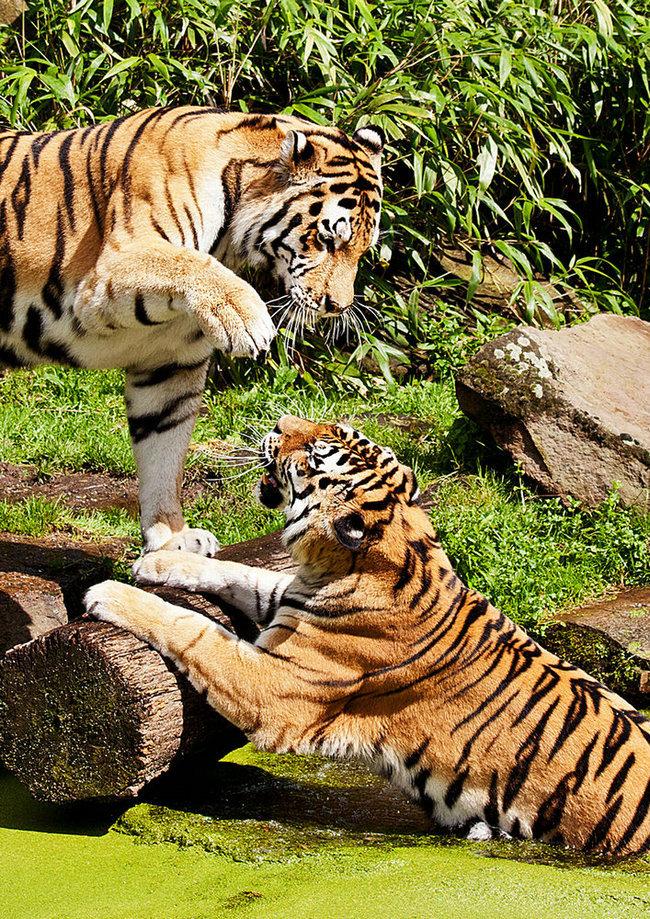 译名:两只老虎/虎兄虎弟类型:动作/动物