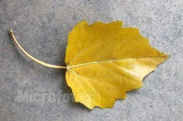 大杨树的叶子像什么