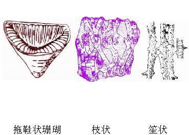 根据横列结构和纵列结构将珊瑚的骨骼分为单带型