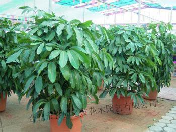 比发财树叶子稍厚是什么植物