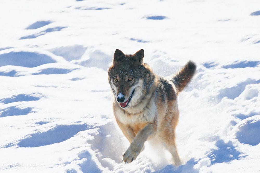狼 - 动物