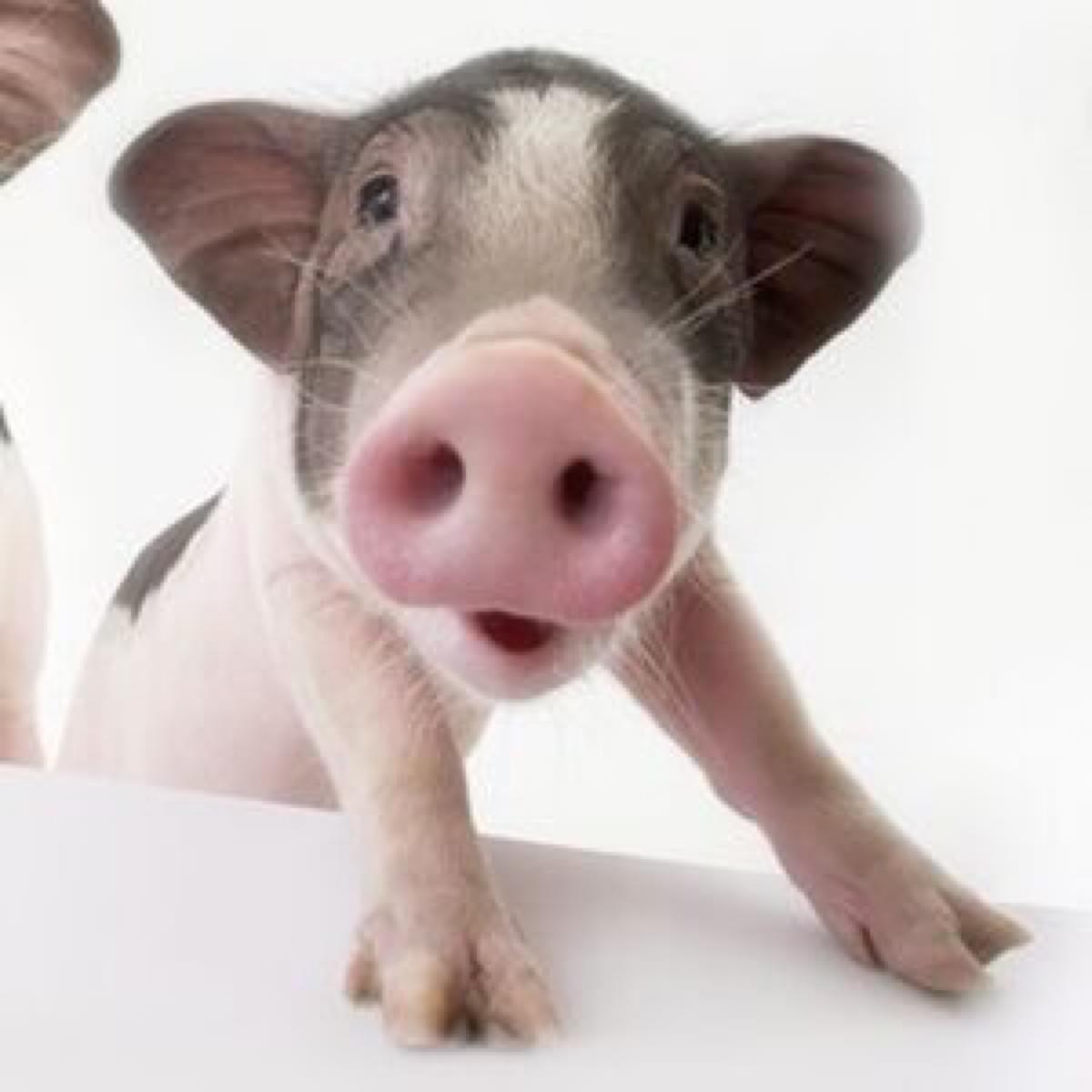 为了自由,猪也是拼了! - 真光 - 真光 的博客